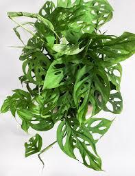 monstera obliqua shop swiss cheese plant hoya anthurium u0026 more