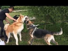 affenpinscher vs german shepherd anatolian shepherd dog funny video funnydog tv