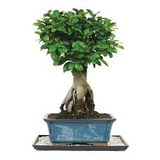 Braided Hibiscus Tree Pictures by Brussel U0027s Bonsai Braided Money Tree Indoor Dt 1024mt The Home