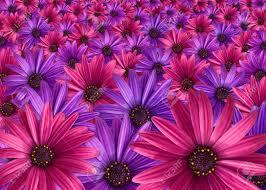 blumen lila rosa und lila blumen hintergrund lizenzfreie fotos bilder und