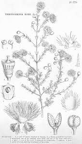 angiosperm families myrtaceae juss