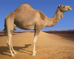 how many different types of camel that are living in the whole