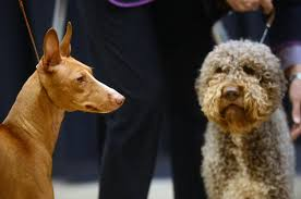 7 breeds to debut at westminster kennel club show ny