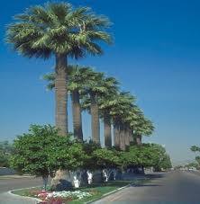 mexican fan palm growth rate palms