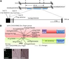 lax panicle2 of rice encodes a novel nuclear protein and regulates