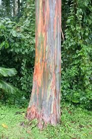 Rainbow Eucalyptus The Rainbow Eucalyptus Kuriositas