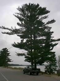 white pine trees white pine tree evergreen balsam fir fraser fir maple white