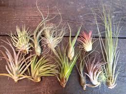 Succulent Plant Buy Plants Online Canadian Hardy Succulents