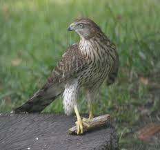Louisiana birds images Louisiana birds JPG