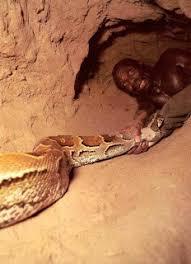 film ular phyton unik boss cara menangkap ular phyton