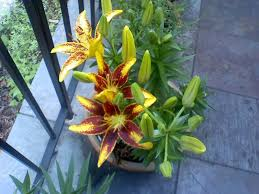 Potted Plants For Patio Container Grown Lilies How Do You Take Care Of Lilies In Pots