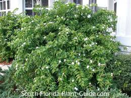 124 best florida plants images on pinterest florida plants