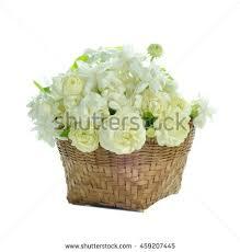 Jasmine Tea Flowers - arabian jasmine jasminum sambac flower leaves stock photo