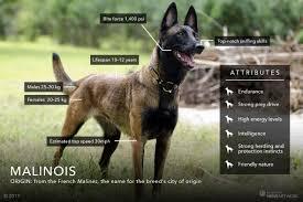 belgian sheepdog vs belgian malinois malinois on a mission meet the dogs who fight poachers in kenya