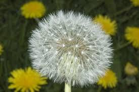 Dandelion Facts Taraxacum Officinale F H Wigg Plants Of The World Online Kew