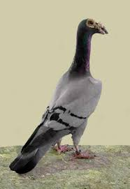 18 most pigeon breedstrue viral news true viral news
