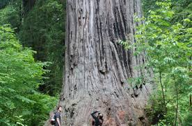 Giant Map Of The United States by Ten Must See Redwood Trees Humboldt County California