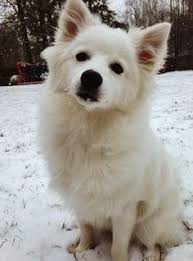 american eskimo dog price in india standard american eskimo dog the standard american eskimo dog is