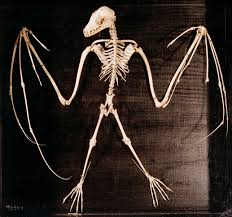 bat skeleton bats are the second largest order of mammals after the rodents