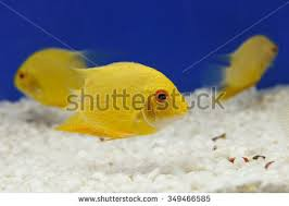 school fish many yellow damselfish swimming stock photo 349466588