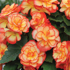 Fragrant Bedding Plants - scented bedding plants at thompson morgan