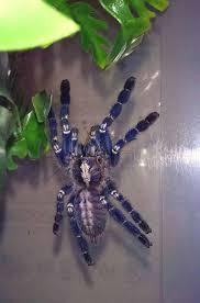 the poecilotheria metallica yes tarantulas can be beautiful