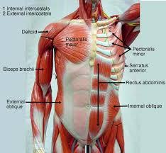 Sheep Heart Anatomy Quiz Human Anatomy Anatomy Muscle Models Male Muscle Figure Mmf