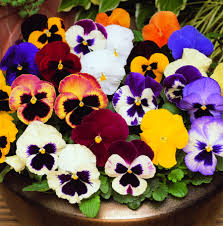 top 10 easy plants for kids to grow page 5 of 11 pansies