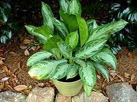 Tropical Plants For Garden - how to spruce up a summer garden with tropical plants today u0027s