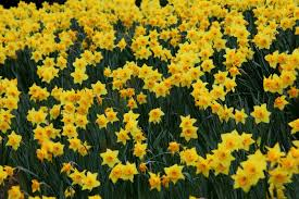 daffodil easter bell flowers flowers free nature pictures by
