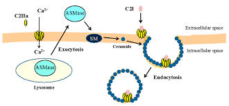 toxins free full text cellular entry of clostridium
