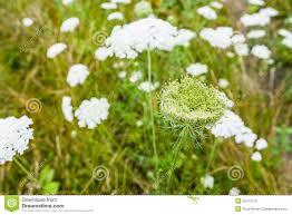 Plants Blooming Wild Carrot Plants Blooming And Budding Stock Photo Image 42473516