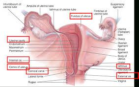 Anatomy Of Female Reproductive System Anatomy Of Reproductive System Female Anatomy Of Reproductive