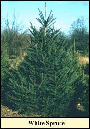 christmas tree varieties photos and information to choose the