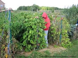 8 Foot Trellis Grow Pole Beans For Easy Picking And Preserving