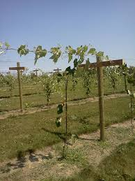 bluff stone vineyard completing the geneva double curtain trellis