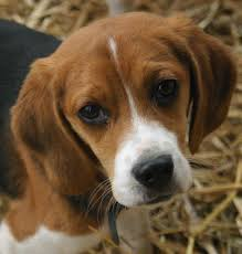 small house dogs cute puppy dogs small beagle puppies