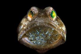 bartender resume template australia zoo expeditions maui to molokai a male jawfish mouthbrooding eggs until they hatch this is an