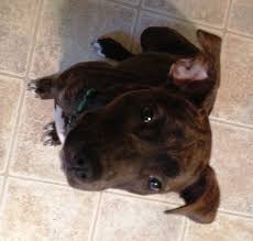 american pit bull terrier lab mix pit bull mix wren mid america bully breed rescue