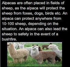 Alpaca Sheep Meme - never underestimate the power of alpacas