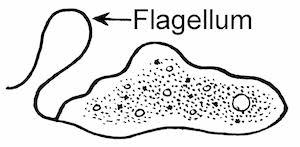 volvox protist classification movement u0026 description study com
