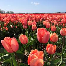 the tulip fields babyccino kids daily tips children u0027s products