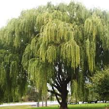 weeping willow tree salix babylonica one seedling 6 10