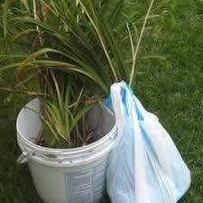 dividing ornamental grasses dave s garden