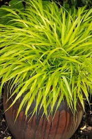 best 25 ornamental grasses for shade ideas on best