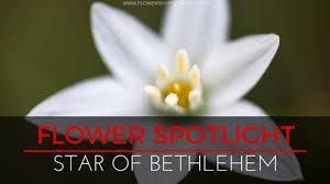 of bethlehem flower flower spotlight of bethlehem