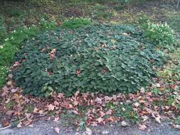 native woodland plants garden u0026 outdoor pachysandra procumbens for your native woodland
