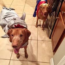 Vizsla Halloween Costume Shark Strength U0026 Fitness