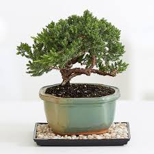 plant delivery bonsai trees for sale bonsai tropical plant delivery proflowers