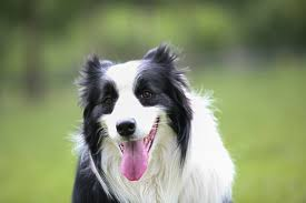 australian shepherd or border collie free images border collie vertebrate dog breed australian